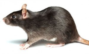 año de la rata