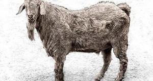 cabra hosroscopo chino